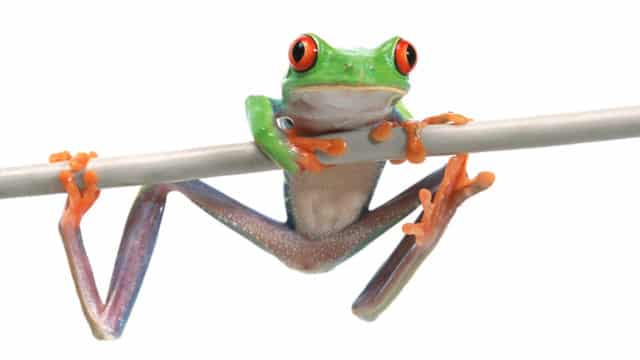 24 Jun 2004 --- Frog Hanging in There --- Image by © Royalty-Free/Corbis